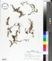 Elatine brachysperma image