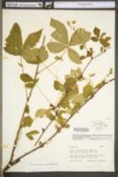 Rubus missouricus image