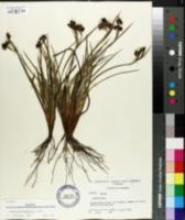 Image of Sisyrinchium xerophyllum