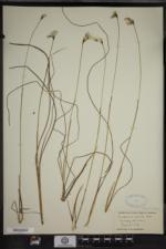 Eriophorum gracile image