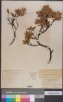 Image of Arctostaphylos hispidula