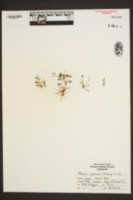 Mazus japonicus image