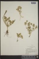 Image of Eryngium vaseyi