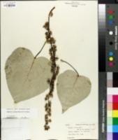 Image of Populus ciliata