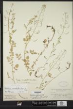 Nasturtium microphyllum image