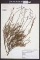 Image of Polygonella basiramia