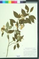 Image of Cornus arnoldiana