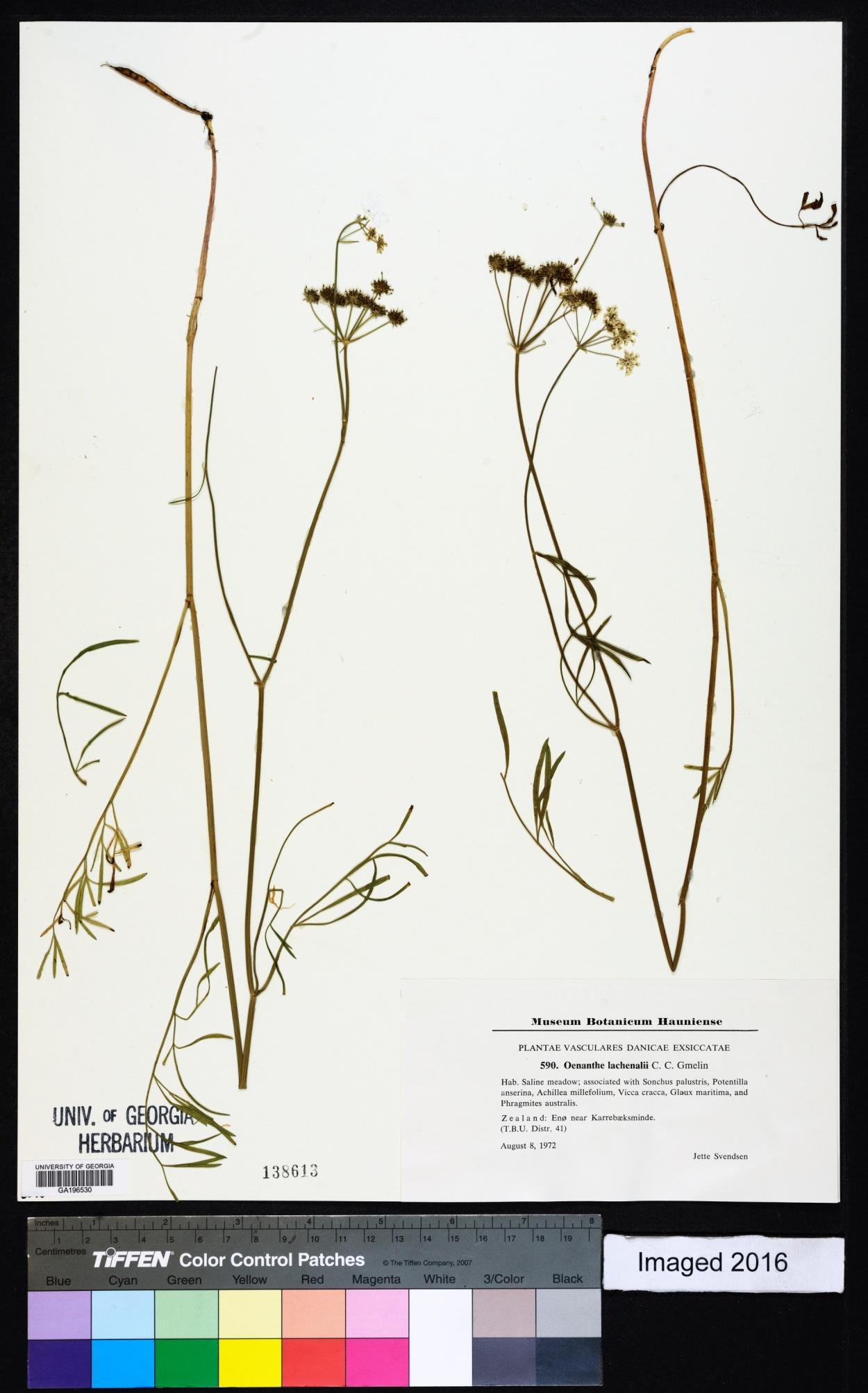 Oenanthe lachenalii image