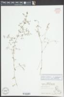 Galium tinctorium var. tinctorium image