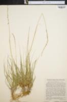 Image of Sporobolus poiretii