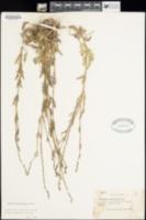 Image of Verbena menthifolia