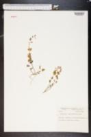 Caulanthus amplexicaulis image