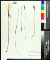 Zephyranthes treatiae image