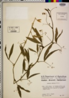 Lathyrus pusillus image