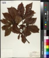 Quercus mongolica image