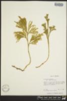 Lycopodium obscurum var. isophyllum image