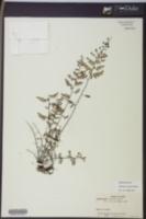 Image of Adiantopsis rupicola