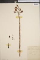 Image of Hexalectris spicata