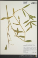 Alternanthera philoxeroides image