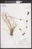 Rhynchospora cephalantha image