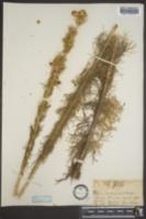 Gilia rubra image