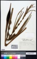 Image of Allagoptera arenaria