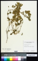 Medicago polymorpha image