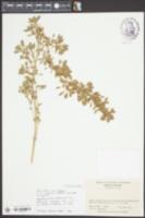 Image of Amaranthus thunbergii