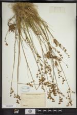 Juncus brevicaudatus image