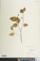 Image of Celtis tenuifolia