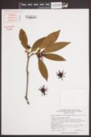 Illicium floridanum image