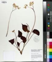 Image of Begonia strigillosa