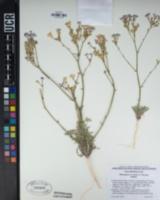 Gilia latiflora image