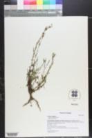 Lactuca saligna image
