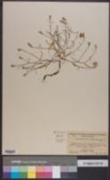 Stephanomeria lactucina image