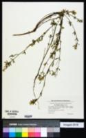 Melilotus altissima image