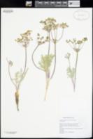 Lomatium nevadense image