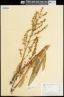 Rumex longifolius image