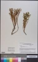 Vaccinium scoparium image