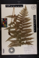 Image of Dryopteris x australis