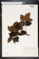 Image of Zanthoxylum coriaceum