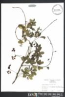 Akebia quinata image