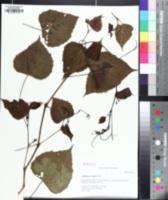 Image of Ampelopsis cordata
