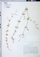 Image of Galium hispidum