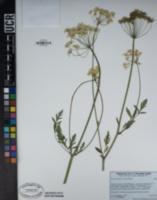 Ligusticum grayi image