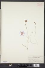 Image of Linaria pinifolia