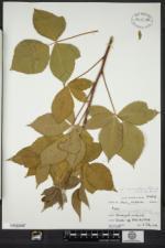 Rubus semisetosus image