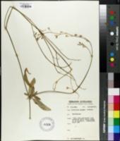 Image of Nicotiana exigua