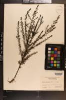 Afzelia cassioides image