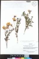 Acmispon grandiflorus image